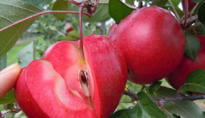 红色果肉的苹果你吃过吗