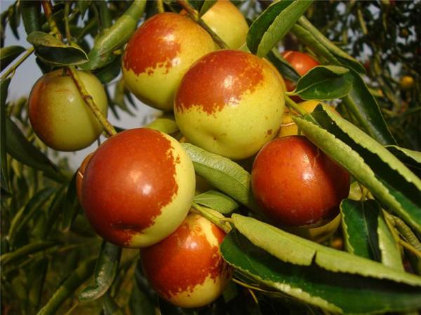 大荔小黄蜂冬枣有什么优势?