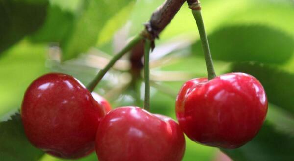 樱桃苗木价格走势及市场行情分析