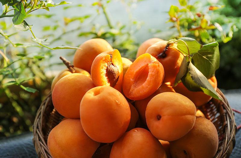 大荔温室棚金太阳杏