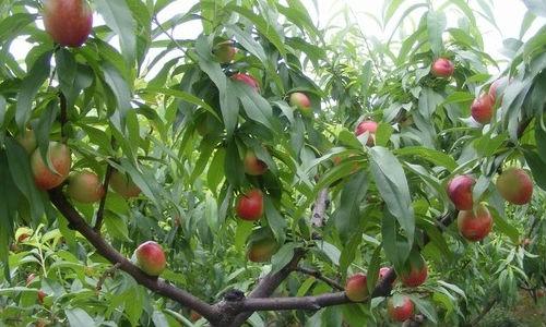 桃树黄叶失绿症的症状原因及解决措施