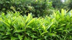 最新苗木价格行情:乡土树种、常绿观花树种或